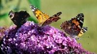 L'arbre à papillons, un faux ami pour ces insectes.